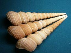 貝の標本(現生) キリガイダマシの貝殻 10cm程1個