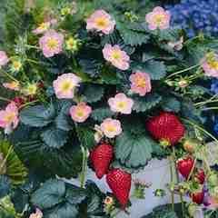 珍しい ピンクの花のイチゴ 8粒