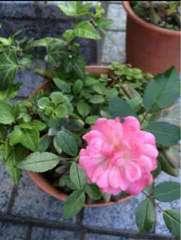 ☆薔薇の寄植え☆多肉植物☆アイビー☆