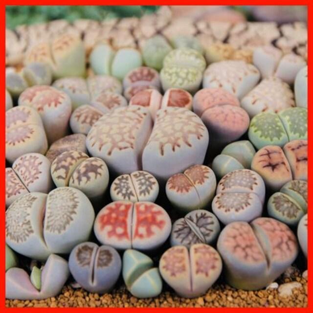 リトープス 種50粒 送料無料 MIX種子 メセン コノフィツム 多肉  < ペット/手芸/園芸の